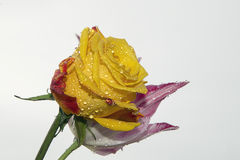 Rose with tulip Stock Images