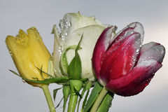 Rose with tulips Royalty Free Stock Photos