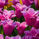 Rose tulips field Royalty Free Stock Photo
