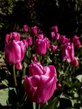 Rose tulips in a park in Istanbul in the early days of spring,close up shot.The closest flower is sharp while the others are out o. F focus. Shot was taken this stock photography