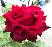 Rose. The rose is a type of flowering shrub. Its name comes from the Latin word Rosa.[1] The flowers of the rose grow in many different colors, from the well stock images