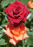 Rose un buisson ou un arbuste épineux qui soutiennent typiquement le rouge, Photographie stock