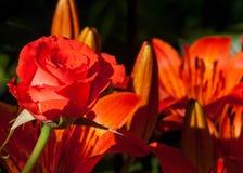 Rose Un buisson ou un arbuste épineux qui soutiennent typiquement les fleurs parfumées rouges, roses, jaunes, ou blanches, indigè Images libres de droits
