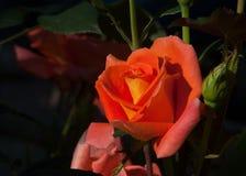 Rose Un buisson ou un arbuste épineux qui soutiennent typiquement les fleurs parfumées rouges, roses, jaunes, ou blanches, indigè Photo stock