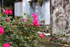 Rose in un cimitero Fotografia Stock