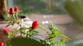 Rose in un vaso di fiore stock footage