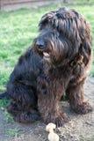 Rose, un vieux mélange Chien de berger-d'or anglais de chien d'arrêt Photo libre de droits