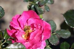 Rose und Biene stockfotos