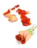 Rose und Blumenblätter. Lizenzfreies Stockbild