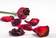Rose und Blumenblätter Stockfotografie