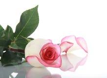 Rose und Blumenblatt auf Spiegeloberfläche Lizenzfreie Stockfotos