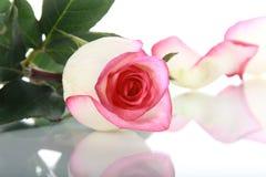 Rose und Blumenblatt auf Spiegeloberfläche Lizenzfreie Stockfotografie
