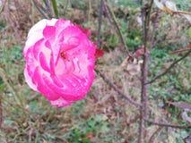 Rose und der Regen stockfotografie