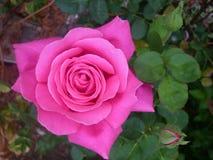 ROSE UND GARTEN Stockbild