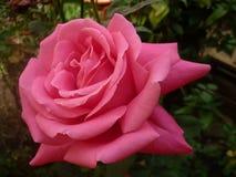ROSE UND GARTEN Stockbilder