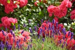 Rose und Lavendel im Garten Stockfotografie
