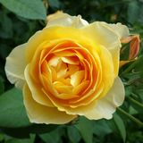 Rose und Rosebud Lizenzfreies Stockbild