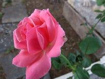 Rose und Spinne Lizenzfreie Stockfotos