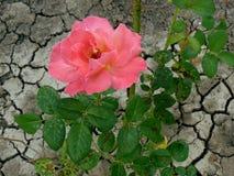 Rose und trockenes Land stockfotografie