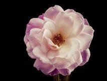 Rose und Wasser (2) Stockbild