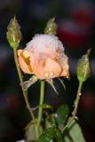 Rose und Winter Stockbilder