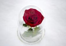 Rose Under Glass rouge image libre de droits