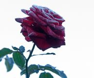 Rose under hoar-frost. Red Rose under hoar-frost Royalty Free Stock Images