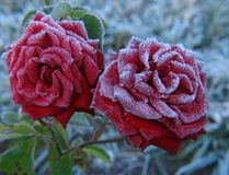 Rose under hoar-frost. Red Rose under hoar-frost Royalty Free Stock Photo