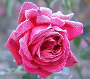 Rose under hoar-frost Stock Photo