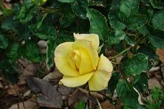 Rose, une belle fleur, fleur de maison et décoration de jardin Image stock