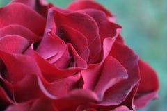 Rose unter Dornen Stockfotografie
