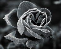 Rose unter Hoar-frost Stockfotografie