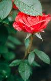 Rose unter Regen Lizenzfreies Stockfoto