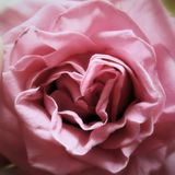 Rose up close Royalty Free Stock Photography
