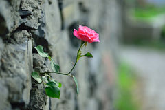Rose up through the wall Royalty Free Stock Photo