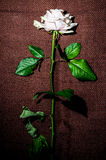Rose in upright on fabric background Royalty Free Stock Image