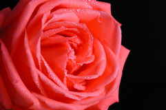 Rose of valentine's day Royalty Free Stock Photography