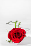 Rose Valentine's Day. With space for your text Royalty Free Stock Photography