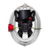 Rose valentines dog Stock Photo