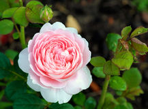 Rose variety royalty free stock photos