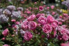 Rose variopinte belle di fioritura nel giardino Immagine Stock