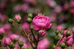 Rose variopinte belle di fioritura nel giardino Fotografia Stock