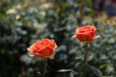 Rose variopinte belle di fioritura nel giardino Fotografia Stock Libera da Diritti