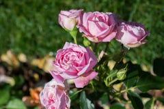 Rose variopinte belle di fioritura nel giardino Immagini Stock