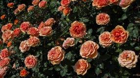 Rose variopinte belle di fioritura nel giardino Fotografie Stock