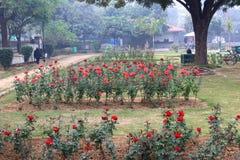 Rose variopinte in Rose Garden nazionale, Nuova Delhi, India Immagini Stock Libere da Diritti