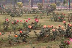 Rose variopinte in Rose Garden nazionale, Nuova Delhi, India Fotografia Stock