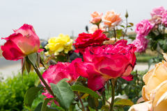 Rose variopinte nel giardino Immagine Stock