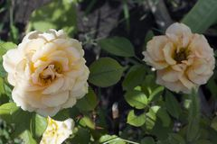 Rose variopinte piacevoli Immagine Stock Libera da Diritti