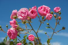 Rose variopinte in un roseto Fotografie Stock Libere da Diritti